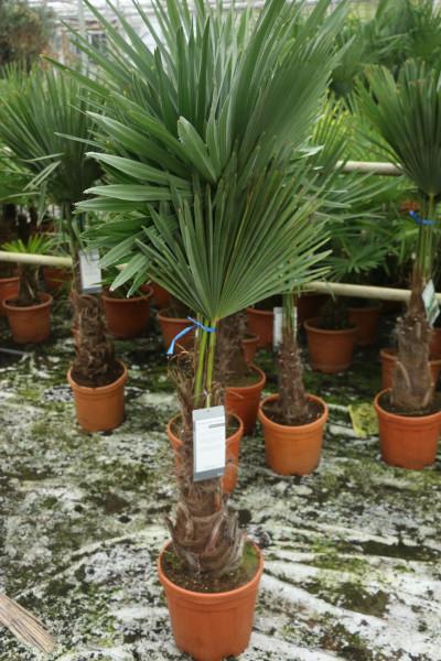 Hanfpalme Trachycarpus wagnerianus 25-35cm Stamm, 90-115cm Gesamthöhe