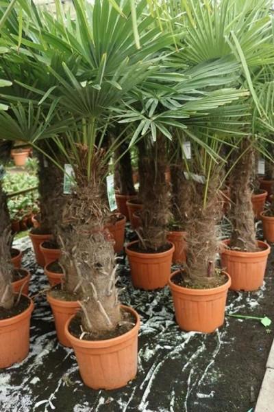 Hanfpalme Trachycarpus wagnerianus 100-120cm Stamm, 195-235cm Gesamthöhe