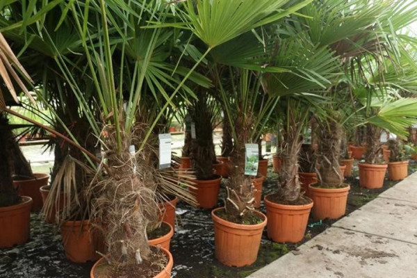 Hanfpalme Trachycarpus wagnerianus 40-50cm Stamm, 115-130cm Gesamthöhe
