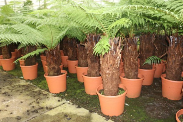 Dicksonia antarctica australischer Baumfarn 150-180cm